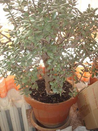 продаю грошове дерево (квітка )