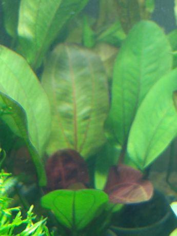 Rośliny akwariowe/roślina do akwarium/Żabienice/echinodorus