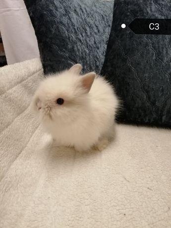 Królik karzełek teddy miniaturka długowłosy.