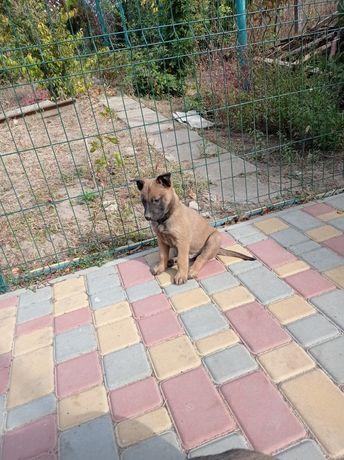 Продам щенков Малинуа