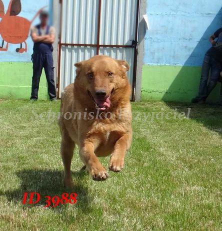 Kiran- śliczny psiak  szuka domu!