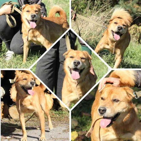 Солнечная собака Арчи, рыжий пес, песик, кастрирован, 1,5 г