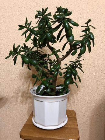 продам комнат. цветок (50 см)