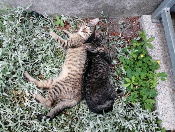 Małe oswojone czteromiesięczne koty.