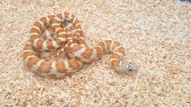Wąż hybryda dla początkujących samica Lampropeltis floridana meansi