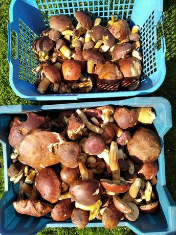 Podgrzybki świeże 3,5kg tanio