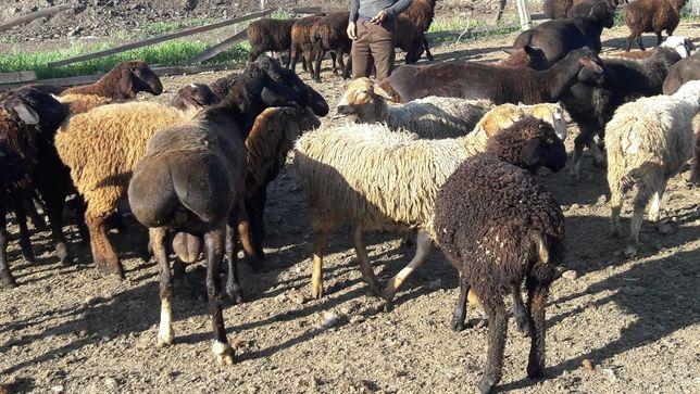 овцы курдючные
