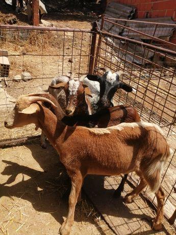 Vendo cabras novas
