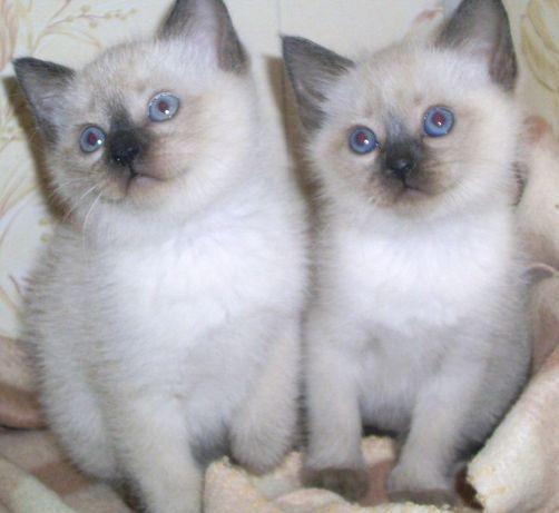 Породистые тайские котята-мальчики ,синие глазки,темные ушки