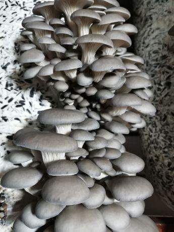 Готовые к плодоношению грибные блоки ВЕШЕНКИ. Есть в наличии
