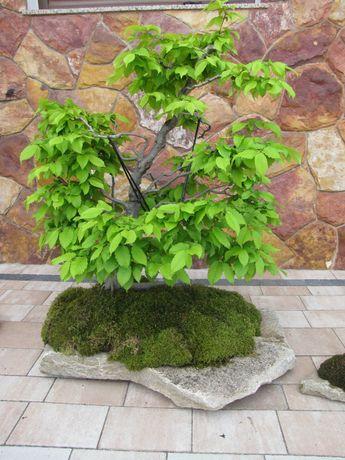 Drzewko Bonsai , grab
