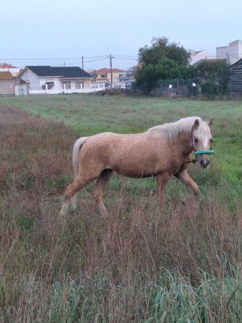 Vendo cobriçoes de ponei welsh