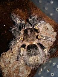 паук Grammostola aureostriata L 2-3 для новичка