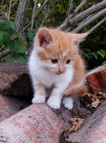 Рыже-белый котик (1,5 мес) ищет заботливых хозяев