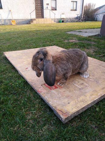 Sprzedam królika barana francuskiego