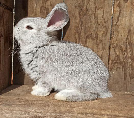 Sprzedam króliki, król, królik.