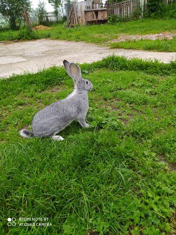 Кролики шиншила європейська
