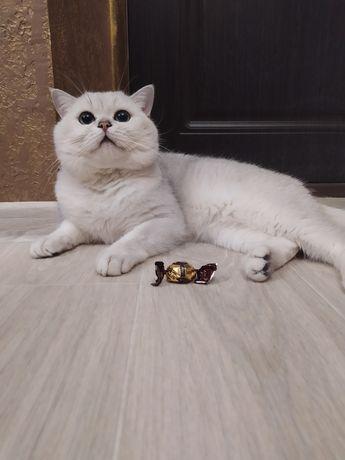 Вязка. Страйт. Серебристая шиншилла. Шикарный кот!!!