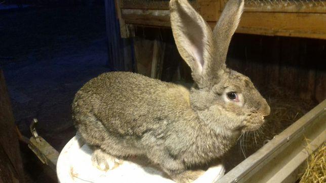 Sprzedam króliki belgi