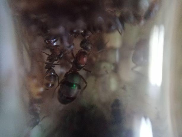 Mrówki Formica rufibarbis Q+8-15w kolonia mrówek