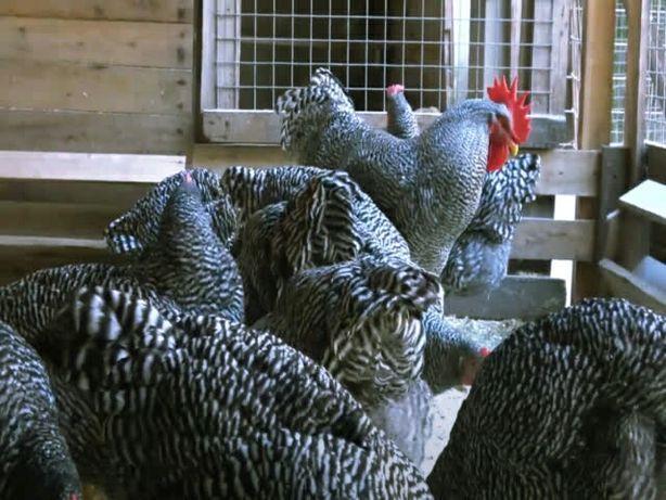 ПЛИМУТРОК, порода чистокровная - яйцо инкубационное