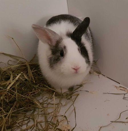 кролик декоративный черно - серо белого окраса