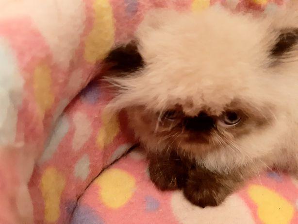 Persinha bébé gatinho