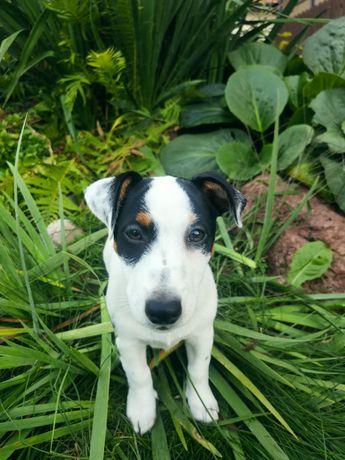 Szczeniak Jack Russel Terrier