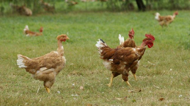 perliczki gołoszyjki gęsi kaczki oraz NOWOŚC BAŻANTY