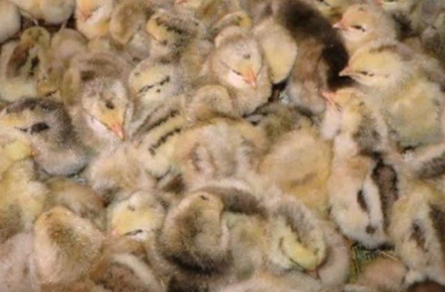 Курчата мастер грей м'ясо яєчні