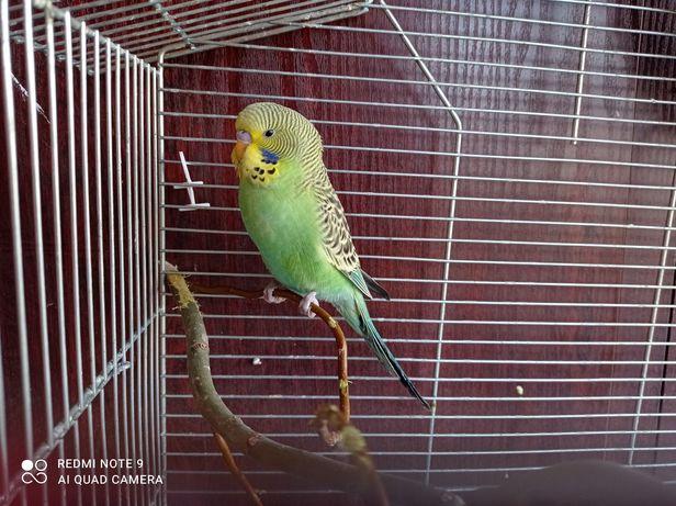 Papuga falista zamienię lub sprzedam 20zł