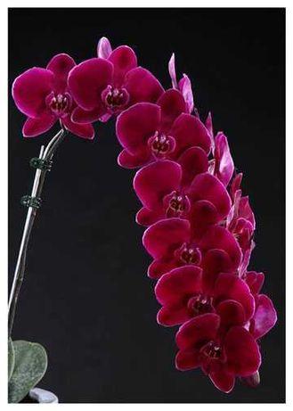 Орхидея Black Face