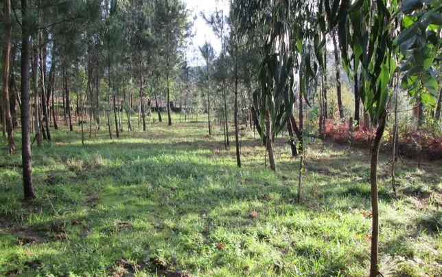 Terreno de mato com eucaliptos