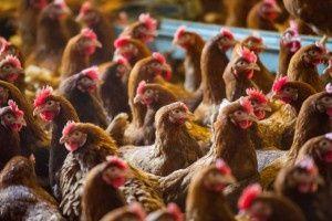 Kury nioski już niosą jajka Rębielice Szlacheckie