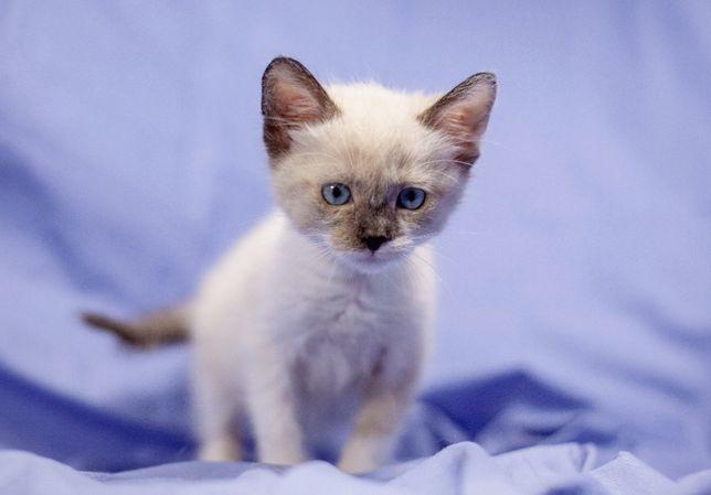 Девочка кошка 1.5 месяца, цвет - сиамский, белый с темным в твой дом