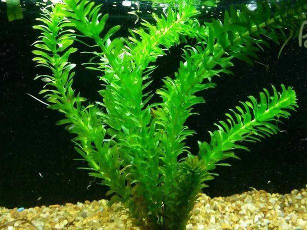 Moczarka (Egeria densa) do akwarium słodkowodnego