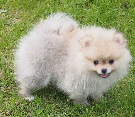 *Pomeranian Mini typ misia 3 szczepienia plus wścieklizna z rodowodem*