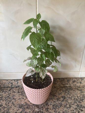 Plantas unicas para venda