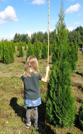 tuja tuje szmaragd smaragd 200cm z gruntu OKAZJA! duże wysokie