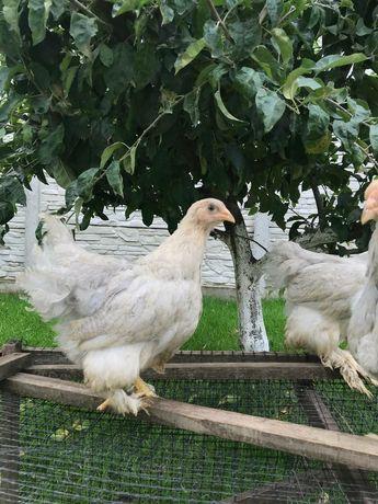 Кури Брама Ізабелла, курчата , півень.