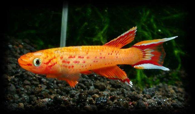 Proporczykowiec z Kap Lopez krajowy od Tapajos_pl W-wa dużo innych ryb