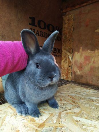 Распродажа самцов породы Венские голубые. Кролики