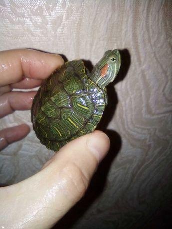 Появились в наличии подросшие красноухие черепахи 10 см, 7 см и 5 см.
