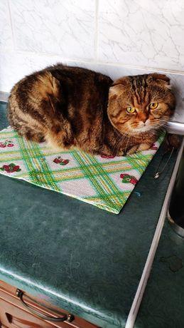 Вязка кот ( шотландский вислоухий )