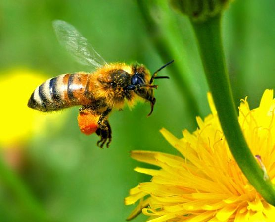 матки пчеломатки бджоломатки Карника F1 в наличии отправлю