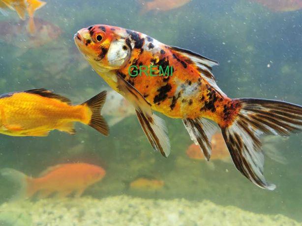 Duże ładne weloniaste karasie ryby ozdobne do oczka wodnego