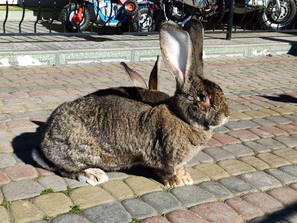 Дорослі Кролики ВЕЛЕТНІ породи ФЛАНДР молодняк, злучені самки