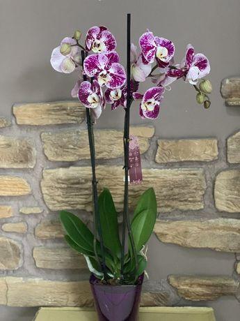 Орхидея, доставка круглосуточно