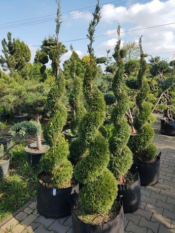 Rośliny formowanie niwaki bonsai