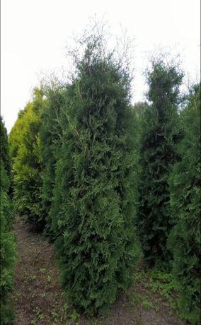 THUJA tuje holmstrup ciemnozielone 220-230 cm. w ceni 90 zł.